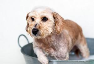 purina shampoo cani campionigratis.info